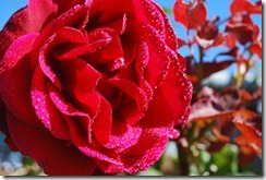 Autumns Red Rose